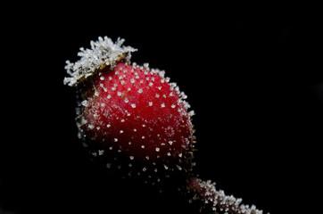 eglantine frost