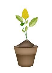 Fresh Paracress Plant in Ceramic Flower Pots