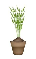 Fresh Water Spinach in Ceramic Flower Pots