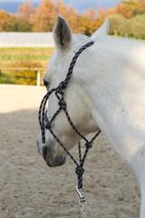 Schimmel - Pferdekopf