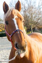 Pferd - Pferdekopf