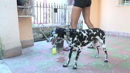Cuban teenager bathing dalmatian dog or pet