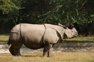 White rhinoceros stay at grass