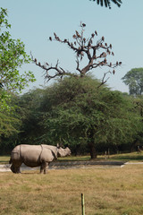 White rhinoceros stay at grass