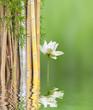 décor relaxant asiatique, bambous et lotus blanc