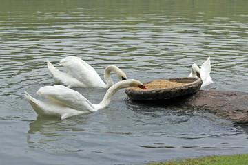 Geese eating food in pond