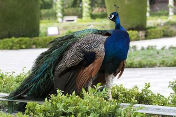 Peacock in a public garden