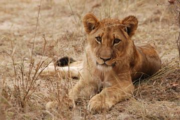 Jeune lion allongé