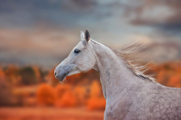 The Grey Arabian Horse portrait at autumn