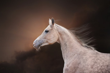 The Grey Arabian Horse portrait on dark brown sky