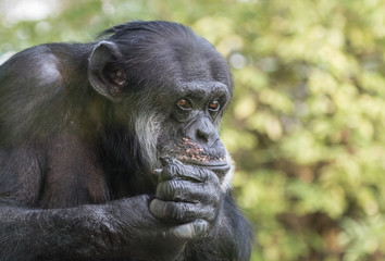 Sad Chimpanzee Portrait