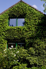Facade of a house covered with ivy