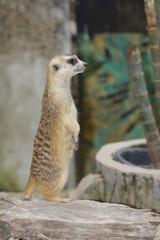 Meerkat stand up