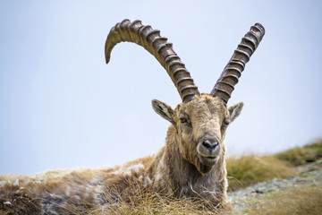 Steinbock. Alpine Ibex, Gran Paradiso National Park, Italy