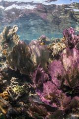 Colorful Caribbean Gorgonians