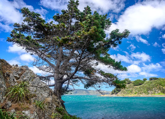 Pine-tree overlooking the sea, at a rocky coast