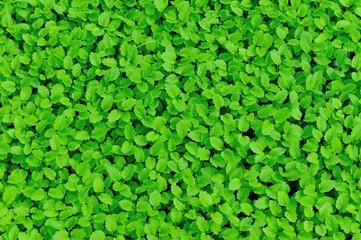 motherwort plant grow