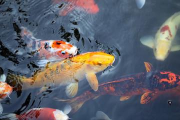 colorful carp
