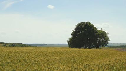 tree on a Grain field