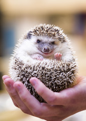 Smiling Hedgehog