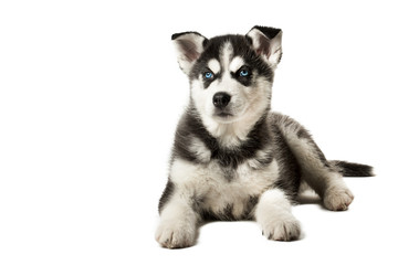Adorable black and white with blue eyes Husky puppy.
