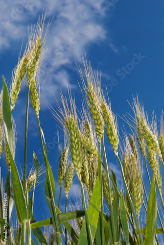 Young ears of grain on the background of blue sky - 75184606