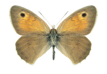 Butterfly Hyponephele difficilis