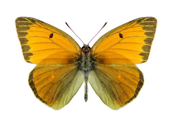 Butterfly Colias heos (male)