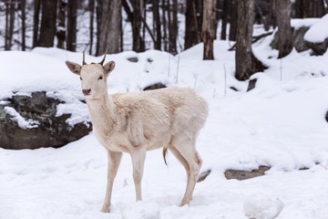 Albino Deer in a winter scene