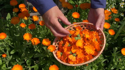 harvesting calendula officinalis marigold medical flowers