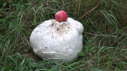 giant puffball Langermannia gigantea mushroom and red apple