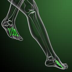 metatarsal bones