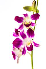 closeup vanda orchid on white background