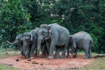 Big family of Wild Elephant eating salt lick