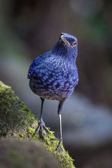 Portrait of Blue Whistlingthrush(Myophonus caeruleus) in nature