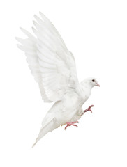 mooving isolated pure white pigeon