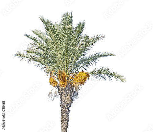 Poster Palm boom Date palm