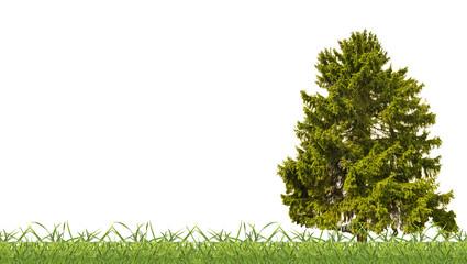 dark green old fir in grass