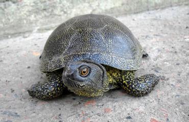 Европейская болотная черепаха крупным планом.