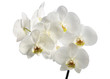 Isolated orchid on white