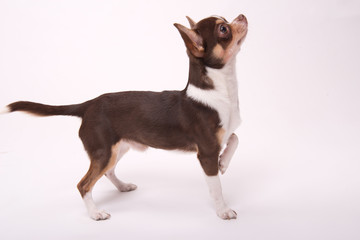 adorable Chihuahua puppy on white   background