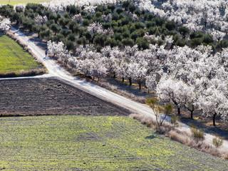 Almendros en el camino de la Loba. Pinto. Madrid