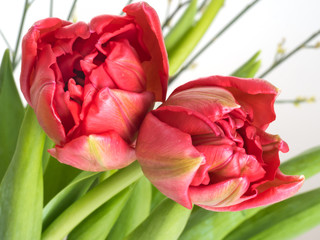 Double red tulip spring flowers, detail over white with broom