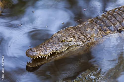 Foto op Plexiglas Krokodil Krokodil