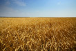Leinwandbild Motiv golden wheats field