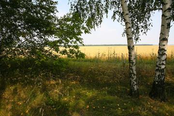 Russian summer landscape birch