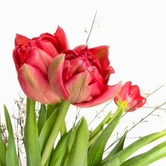 Red double tulips with white broom detail, square crop