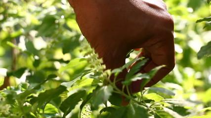 Picking sweet basil of Thailand