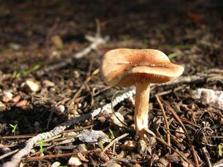 piccolo fungo di campagna