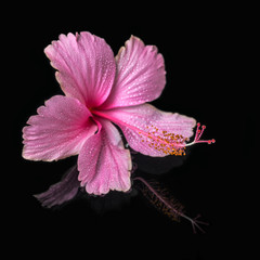 spa still life of pink hibiscus flower with drops in deep water,